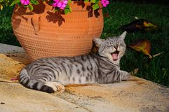 Grey cat yawning. Stock Photo