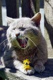 Grey cat yawns over the yellow flower Royalty Free Stock Photography