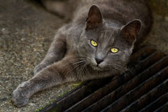 Grey cat with yellow eyes. A beautiful grey cat with yellow eyes lying in the street stock photos