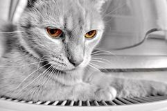 Grey cat with yellow eyes Stock Photography