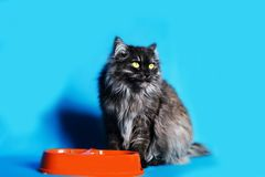 Grey cat with yellow eyes with a bowl of food on blue background. The grey cat with yellow eyes with a bowl of food on blue background Royalty Free Stock Photo