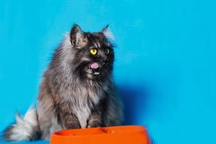 Grey cat with yellow eyes with a bowl of food on blue background. The grey cat with yellow eyes with a bowl of food on blue background Royalty Free Stock Images