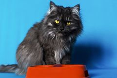 Grey cat with yellow eyes with a bowl of food on blue background. The grey cat with yellow eyes with a bowl of food on blue background Stock Images