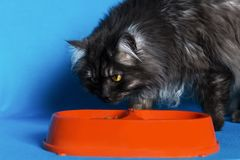 Grey cat with yellow eyes with a bowl of food on blue background. The grey cat with yellow eyes with a bowl of food on blue background Royalty Free Stock Image