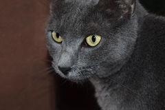 Grey Cat with Yellow Eyes Royalty Free Stock Photo