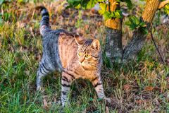 Grey cat with yellow eyes felis catus on a green meadow at sunset. Grey cat with yellow eyes felis catus on a green meadow looks into the sunset royalty free stock photos