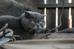 Grey cat with yellow eyes Stock Image