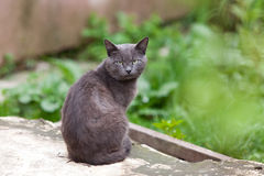 Grey cat. A grey cat with yellow eyes looking at you Royalty Free Stock Image