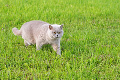 Grey cat with yellow eyes moving across the grass Royalty Free Stock Photos