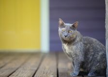Grey cat with yellow eyes on porch Stock Photo