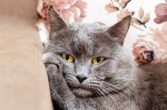 Grey cat with yellow eyes resting, putting his paw under his head.  stock photos