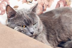 Grey cat with yellow eyes resting, putting his paw under his head.  royalty free stock image