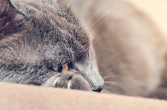 Grey cat with yellow eyes resting, putting his paw under his head.  stock photo