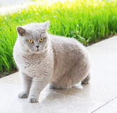 Grey cat with yellow eyes sittin Royalty Free Stock Photography