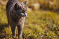 Grey cat with yellow eyes standing on the autumn grass. Royalty Free Stock Photography