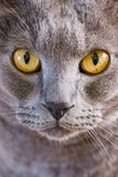 Grey cat with yellow eyes staring. Haunting grey cat with yellow eyes staring Royalty Free Stock Photos