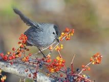 Grey Catbird Immagine Stock