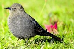 Grey Catbird fotografie stock