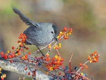 Grey Catbird. Beautiful Grey Catbird perched on a branch among lingonberries and blueberries Stock Image