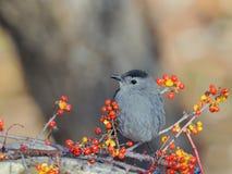 Grey Catbird. Beautiful Grey Catbird posing on a branch among lingonberries and blueberries Stock Photos