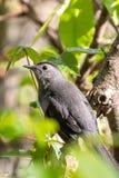 Grey Catbird (carolinensis del Dumetella) Fotos de archivo