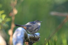 Grey Catbird Royalty Free Stock Photo
