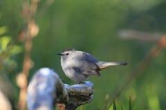 Grey Catbird. Dumetella carolinensis in Florida, North America Royalty Free Stock Photos