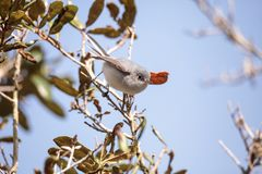 Grey catbird Dumetella carolinensis. Perches on a tree in Naples, Florida in winter Royalty Free Stock Images