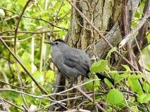 Grey Catbird Perched dans un arbre en Sandy Hook, New Jersey Images stock