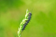 Grey caterpillar Royalty Free Stock Image