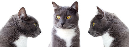 Grey cats. Royalty Free Stock Photo