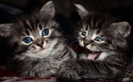 Grey cats with blue eyes royalty free stock photos