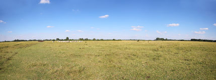 Grey Cattle Cows Herd Grazing At Hungarian Desert Puszta Royalty Free Stock Photos