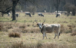 Grey cattle Royalty Free Stock Photos