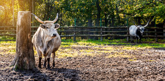 Grey cattle Royalty Free Stock Image