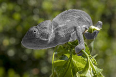 Grey chameleon on a branch Royalty Free Stock Image