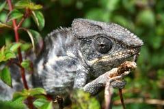 Grey chameleon Stock Photo