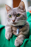 Grey Chartreux cat Royalty Free Stock Photo