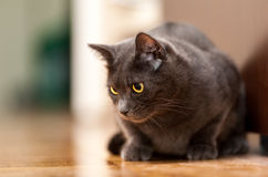 Grey Chartreux cat with yellow orange eyes. Sitting on the floor Royalty Free Stock Image