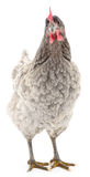 Grey chicken. Royalty Free Stock Image
