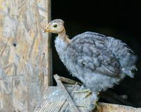 Grey Chicken in front of Chicken Coop Stock Photography