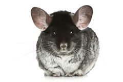 Grey chinchilla Royalty Free Stock Image