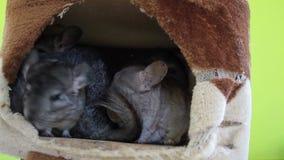 Grey Chinchilla en groepen die in hol slapen stock video