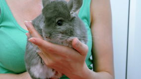 A grey chinchilla on hands of young woman.  stock video footage