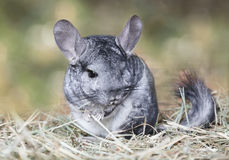 Grey chinchilla outdoors Royalty Free Stock Images