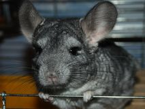 Chinchilla a pet indoor at human`s house looks at the camera from the cage royalty free stock image
