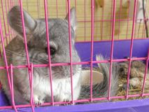 Grey chinchilla pet sitting pink cage. Cute rodent domestic chinchilla portrait closeup animal Stock Images