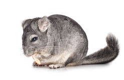 Grey chinchilla Royalty Free Stock Photo