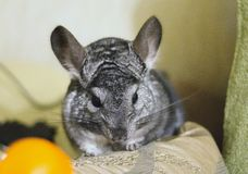 Grey chinchilla is sitting and looking at tangerine. Cute animal. And adorable pet. Fluffy creature that loves fruit Royalty Free Stock Images