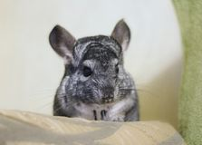 Grey chinchilla is sitting and looking at you. Cute animal and a. Dorable pet. Fluffy creature that loves you Stock Image